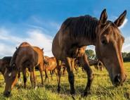 3D Magnet Pferde