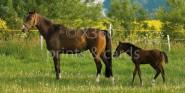 XL-Postkarte Pferde