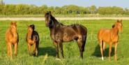 XL-Postkarte Pferde (4Stück)
