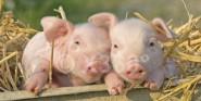 XL-Postkarte Schweine