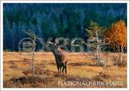 Postkarte Nationalpark Harz Hirsch