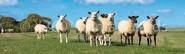 Lesezeichen Schafe