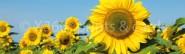 Lesezeichen Sonnenblumen