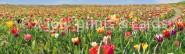 Lesezeichen Tulpen