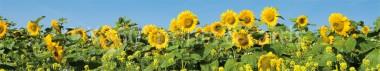 Panoramapostkarte Sonnenblumen