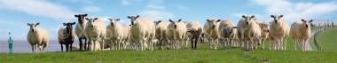 Panoramapostkarte Schafe am Deich