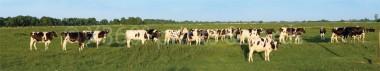 Panoramapostkarte Kühe auf der Weide