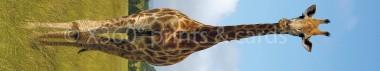 Panoramapostkarte Giraffe
