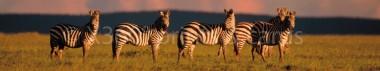 Panoramapostkarte Zebras
