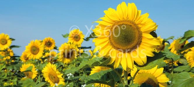 XL-Postkarte Sonnenblumen