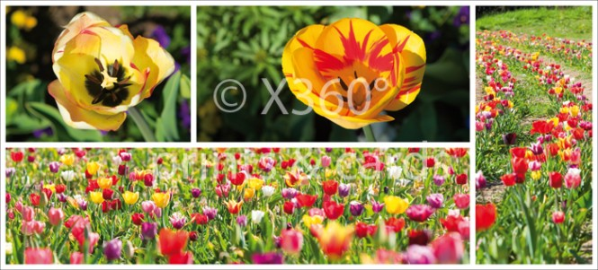 XL-Postkarte Tulpen